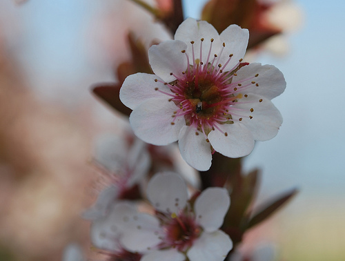 cherry-blossom-flower-12
