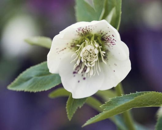 helleborus-niger-christmas-rose-winter-flower-garden-407107-wb